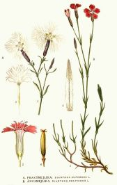 dianthus deltoides and superbus